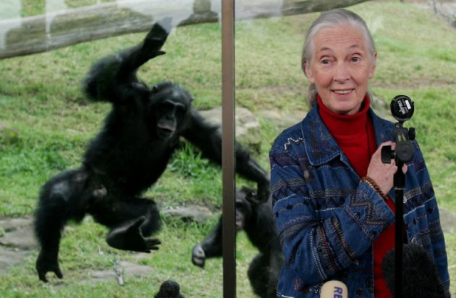 A chimpanzee at the Taronga Zoo, Sydney, as Jane Goodall gives a press conference. Source: Getty Images/Jan Waldie