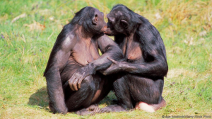 Bonobo female sociality. Source: Google Images/Creative Commons/Alamy